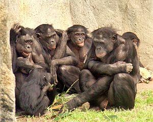 6_bonobos